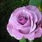 Rózsa lilában