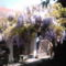 A lila akác