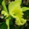 zöld-orchidea