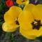 S.tulipán