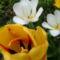 Tulipán és valami