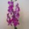 Dendrobium/Orhidea/