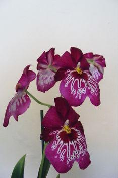 Miltonia /orhidea/