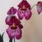orchideák Miltonia