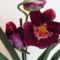 orchideák Miltonia /közelről/