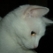 merengő cica