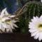 fehér virágú kaktusz