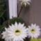 fehérvirágú kaktusz