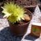 sárgavirágú kaktusz
