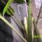 virágzik a Zamioculcas
