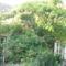 görög nyár,kert,Lorka,Apa 314