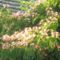 görög nyár,kert,Lorka,Apa 315