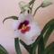 Miltonia /orhidea/ közelről