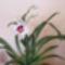 Miltonia/orhidea/ távolról