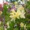 Rododendrok és Azáleák