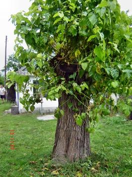 Az eperfa (ami hatalmas volt)
