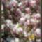 Magnolia viragzás