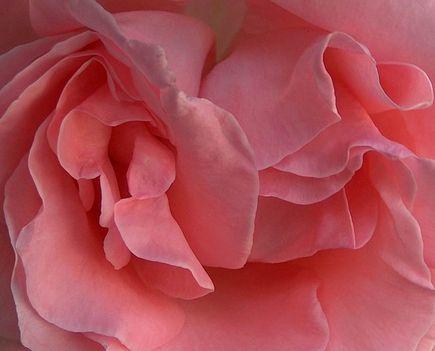 Rózsa.