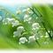 gyöngyvirág-1