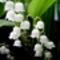 gyöngyvirág-2