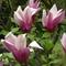 tulipánfa-1