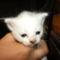 Szerénke cica