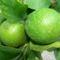 Tahiti lime