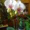 Orchidea /3. virágzása/