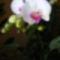 Orchidea / 3 virágzása/