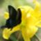 pillangó sárga virágon