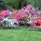 rhododendron bokor