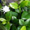 Gardenia  bokor