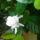 Gardenia közelről