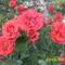 nyilnak a piros rózsák,