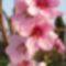 Barackfa virág