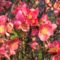 Gránátalma virág