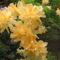 Kám,Rododendron virágzás 017