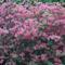 Kám,Rododendron virágzás 020