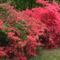 Kám,Rododendron virágzás 022