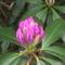 Kám,Rododendron virágzás 028