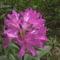 Kám,Rododendron virágzás 033