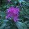 Kám,Rododendron virágzás 036