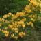 Kám,Rododendron virágzás 037