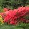 Kám,Rododendron virágzás 049