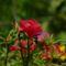 kukacvirág 2