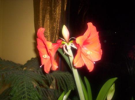 000_0048 piros amarilisz
