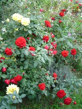 Kedven vörös rózsáim