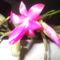 karacsonyi kaktusz