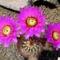 Echinocereus fendleri var. fasciculatus
