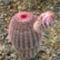 Echinocereus rigidissimus var. rubrispinus